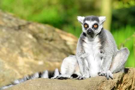 monkies: Portrait of a ring-tailed lemur (Lemur catta) Stock Photo