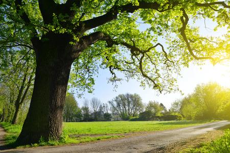 Big oak tree in the park. Spring landscape.