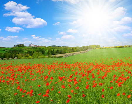 landscape: Spring landscape with poppy field in sunny day.