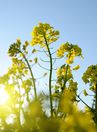 napus: Flower of a rapeseed ( Brassica napus ) at sunrise. Stock Photo