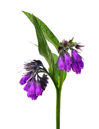 symphytum officinale: Comfrey (Symphytum officinale) isolated on white background, plant used in medicine.