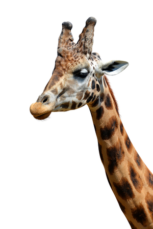 animal ear: Portrait of a giraffe isolated on white background Stock Photo