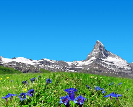 zermatt: Beautiful mountain Matterhorn in the foreground blooming gentian, Pennine Alps, Switzerland