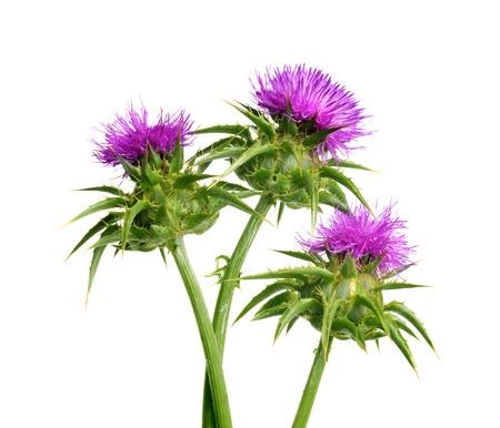 マリアアザミ (ミルクシスル) 白い背景、薬用植物の分離