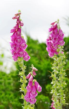 purpurea: Flowers of purple foxglove (Digitalis purpurea)