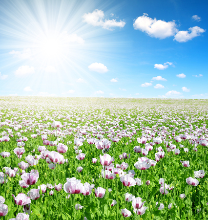opiate: Blooming poppy field in sunny summer day