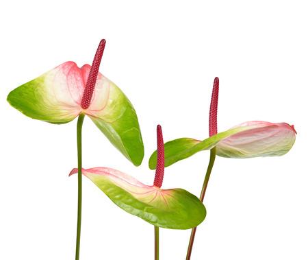 anthurium: Anthurium flowers isolated on white background Stock Photo