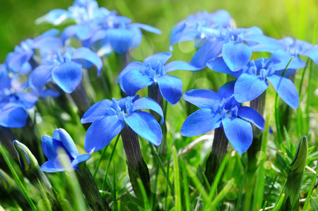 Spring blue gentians in the green grass close up.