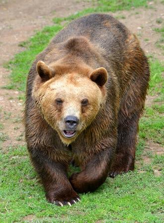arctos: Brown Bear (Ursus arctos)
