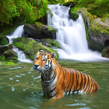 tigresa: Tigre siberiano en el agua