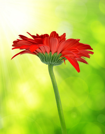 red flower: Red gerbera flower on natural green background. Spring season. Stock Photo