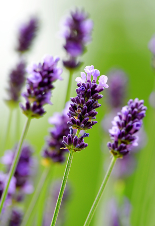 scented: Lavender flower close up blooming scented fields. Stock Photo