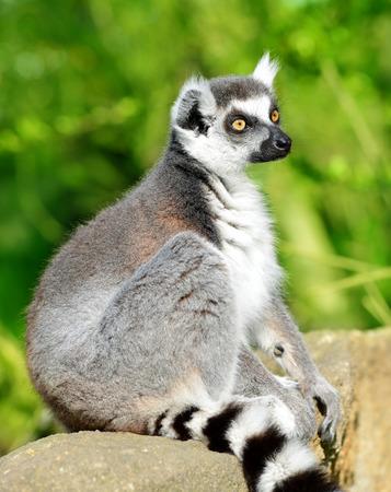 Portrait of a Lemur catta.