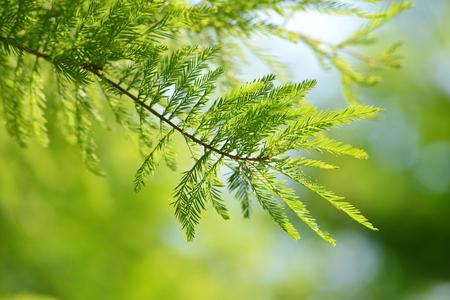 Detail of branch tree Bald Cypress (Taxodium distichum), Nature background.