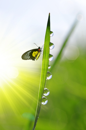 Fresh green grass with dew drops and butterfly. Natural background.