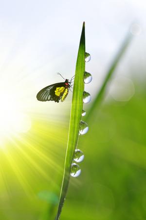 gota: La hierba verde fresca con gotas de rocío y la mariposa. fondo natural. Foto de archivo