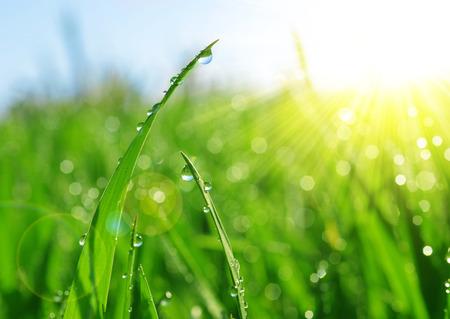 Vers groen gras met dauw druppels close-up. Achtergrond van de Aard.