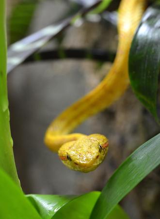 toxin: Eyelash Viper (Bothriechis schlegeli)