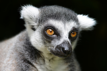 wildness: Ring-tailed lemur against a black background
