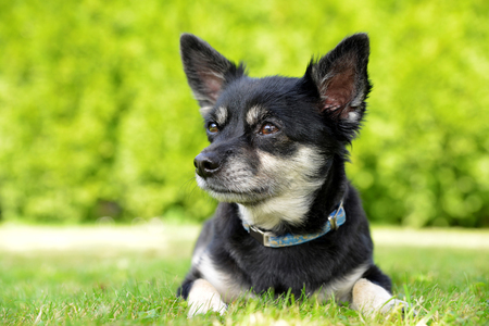 vertebrate animal: Small breed dog Chihuahua lying in the grass Stock Photo
