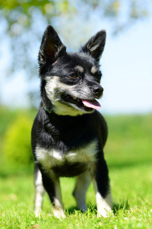 pedigreed: Small breed dog Chihuahua on meadow.