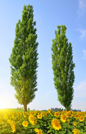 poplars: Blooming sunflower field and two poplars in sunny summer day Stock Photo