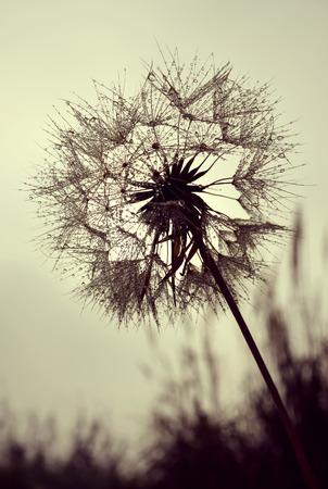 Dew drops on a dandelion flower closeup Stock Photo