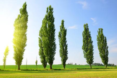 Sommerlandschaft mit Pappeln in sonnigen Tag. Standard-Bild - 63839242