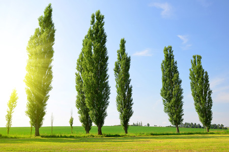 Summer landscape with poplars in sunny day.