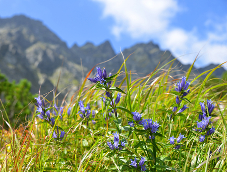 Blue gentians in the mountain meadow