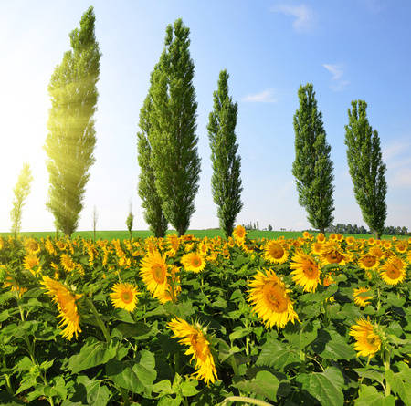 poplars: Blooming sunflower field with poplars in sunny summer day