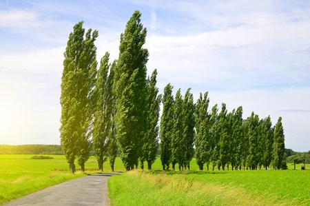 poplars: Summer landscape with poplars in sunny day.