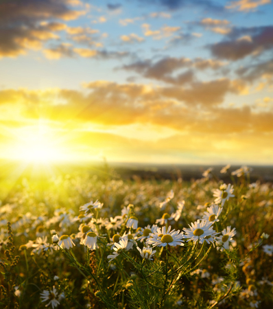 marguerites: Field of marguerites at sunset