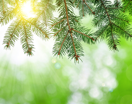 spruce: Spruce branches on green nature background.