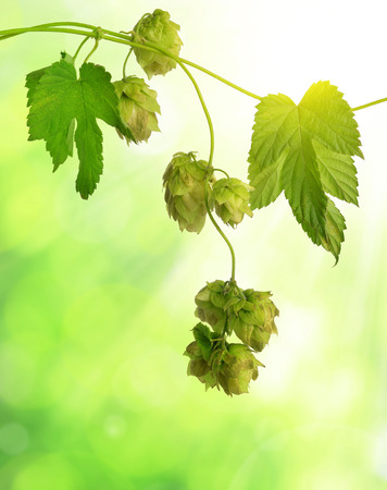 lupulus: Detail of hop cones (Humulus Lupulus) on green nature background.