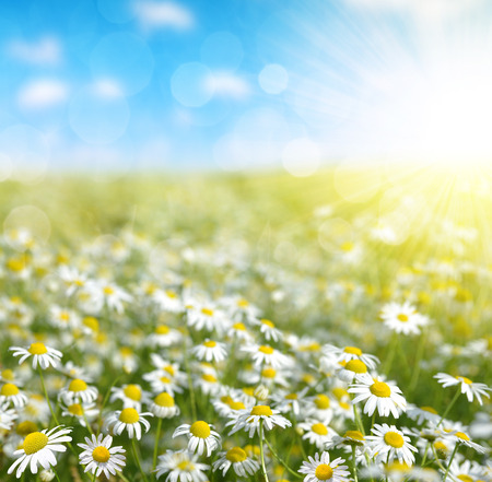 marguerites: Field of marguerites in sunny day. Nature background. Stock Photo