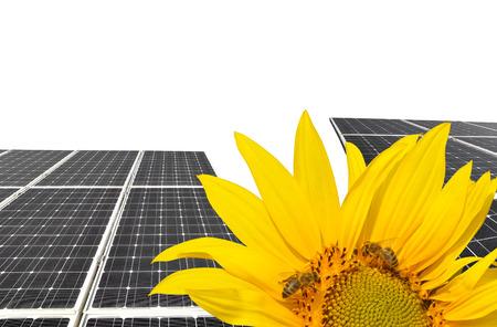 alternativ: Blooming sunflower in the background solar panels.