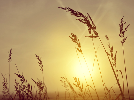 nature silhouette: Silhouette of grass in misty sunrise, nature background.