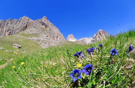 vajolet: Blooming gentians on mountain meadow, Valle del Vajolet in Dolomites,Italien Alps