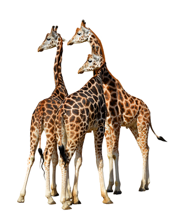 Giraffes isolated on a white background. Stock Photo
