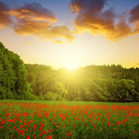 sol radiante: Paisaje del resorte con la amapola de campo al atardecer. Foto de archivo