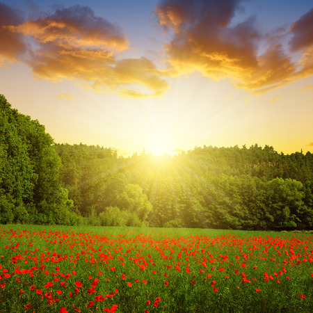 Spring landscape with poppy field at sunset.