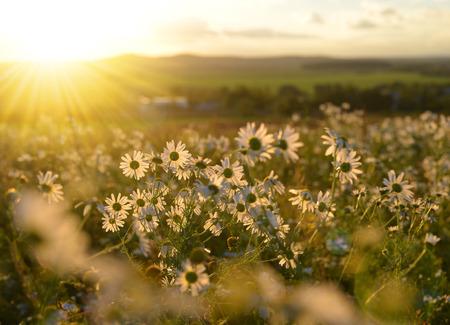 marguerites: Marguerites on meadow at sunset. Spring landscape.