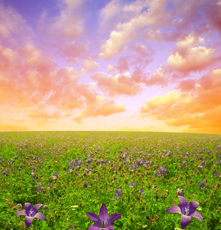 Flowers on meadow in the sunset. Spring landscape.