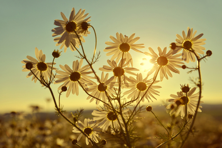 Marguerites on meadow at sunset. Summer flowers. Stock Photo