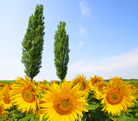poplars: Blooming sunflower field with poplars in sunny day. Summer landscape.