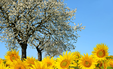 spring landscape: Spring landscape with blooming tree and sunflower field. Stock Photo