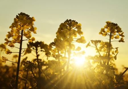 napus: Flower of a rapeseed ( Brassica napus ) against setting sun.