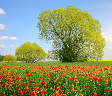 fleurs des champs: Spring landscape with poppy field in sunny day.
