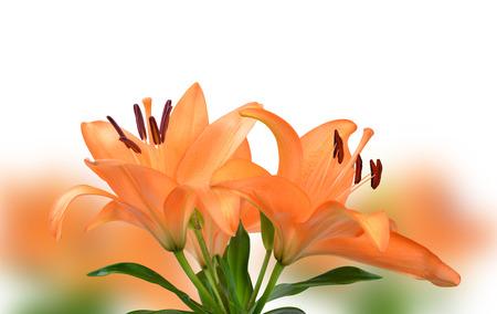 beautiful flowers: Orange lily flowers on white background.